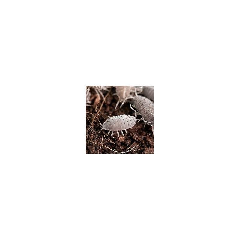 10 x Porcellionides pruinosus gris