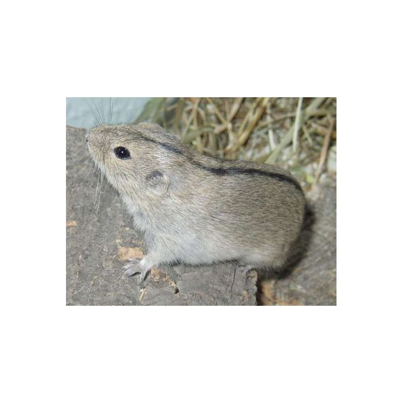 Lagurus lagurus - Lemming des steppes à 18,33 € sur Barf-Food-France
