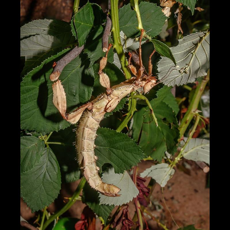 Prochainement dispo - phasme scorpion