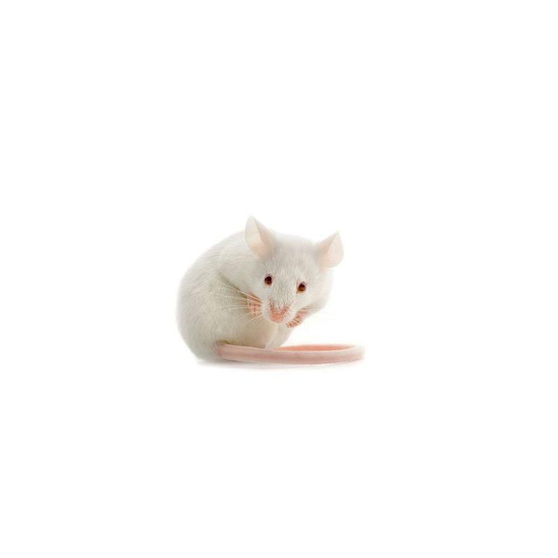 Souris blanche albinos gestante à 1,50€ sur Barf-Food-France