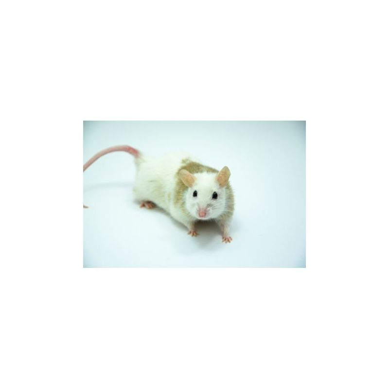 Souris Africaine vivante 20-60g (mastomys natalensis) à 1,25 € sur Barf-Food-France