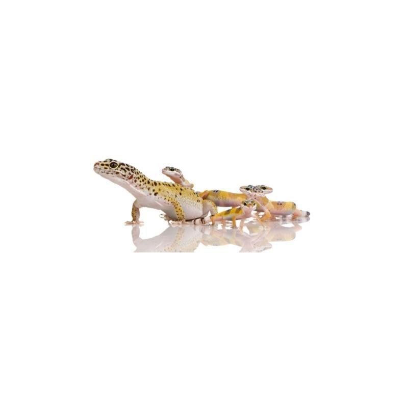 Prochainement dispo - Gecko léopard petit