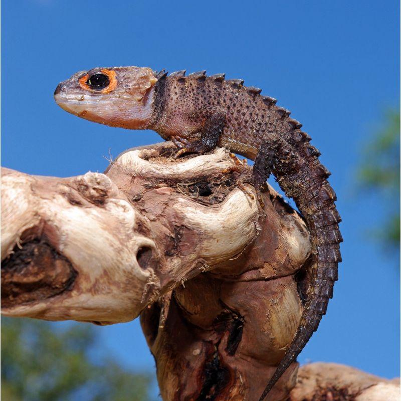 Scinque crocodile aux yeux rouges