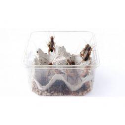 Carton de +/- 0,5 Kg de grillon des steppes T7 (Gryllus assimilis) à 29,33€ sur Barf-Food-France