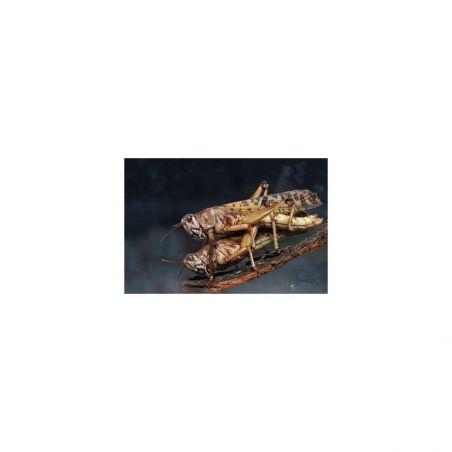 Boite de 10-12 Criquet pélerin / Schistocerca gregaria moyen