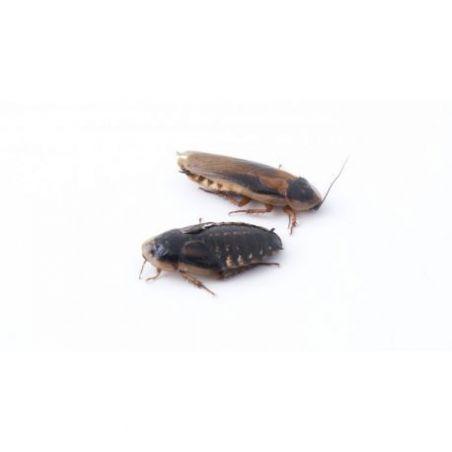 Boite de 12 Blattes blaptica dubia sub adulte