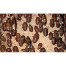Boite de 10 Blattes Blaberus cranifer à 2,33€ sur Barf-Food-France