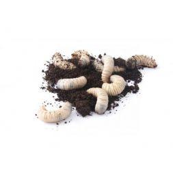 Boite de +/- 250 larves de cetoine à 41,67€ sur Barf-Food-France