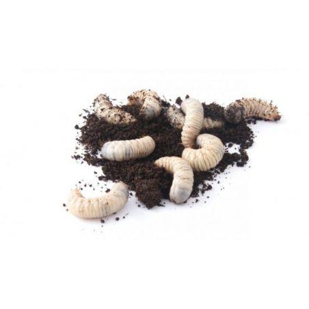 Boite de +/- 250 larves de cetoine