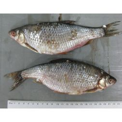 Gardon - Poisson d'eau douce 15-20cm bloc de 10 Kg à 23,99€ sur Barf-Food-France