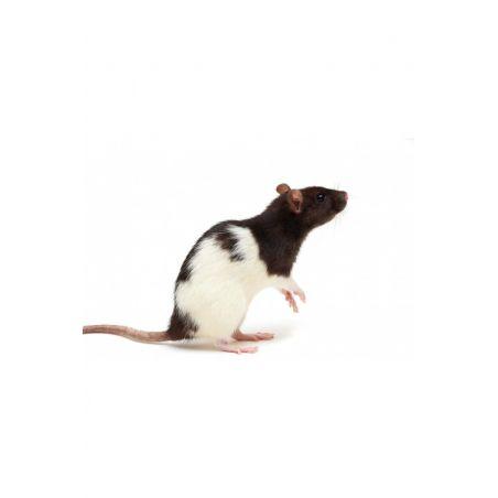 Rat vivant S 51-90g