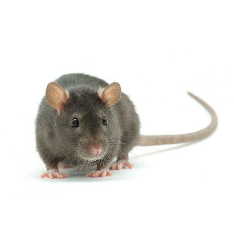 Rat vivant S 51-90g à 2,08€ sur Barf-Food-France