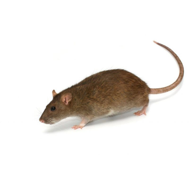Rat vivant M 91-150g à 2,17€ sur Barf-Food-France