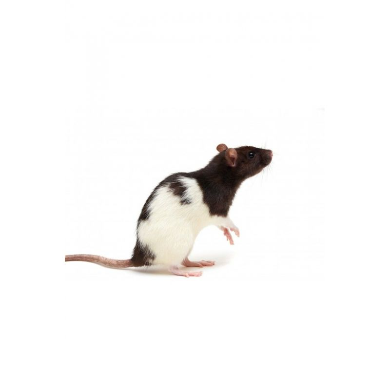 Rat vivant XXL + 250g à 4,17€ sur Barf-Food-France