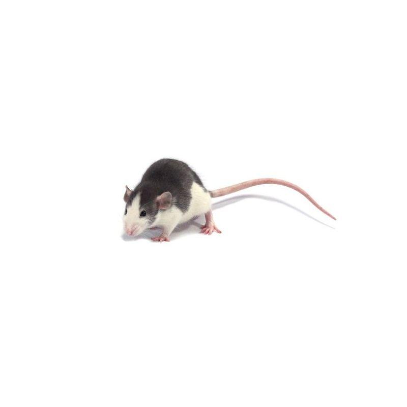 Rat husky Mâle