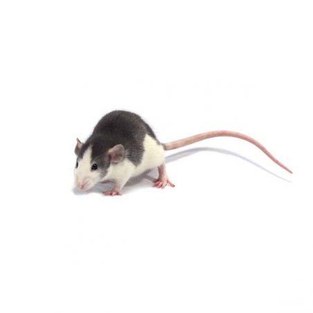 Rat husky Femelle