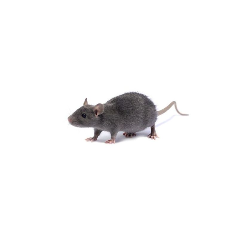 Rat bleu Mâle