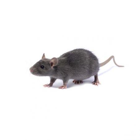 Rat bleu Femelle