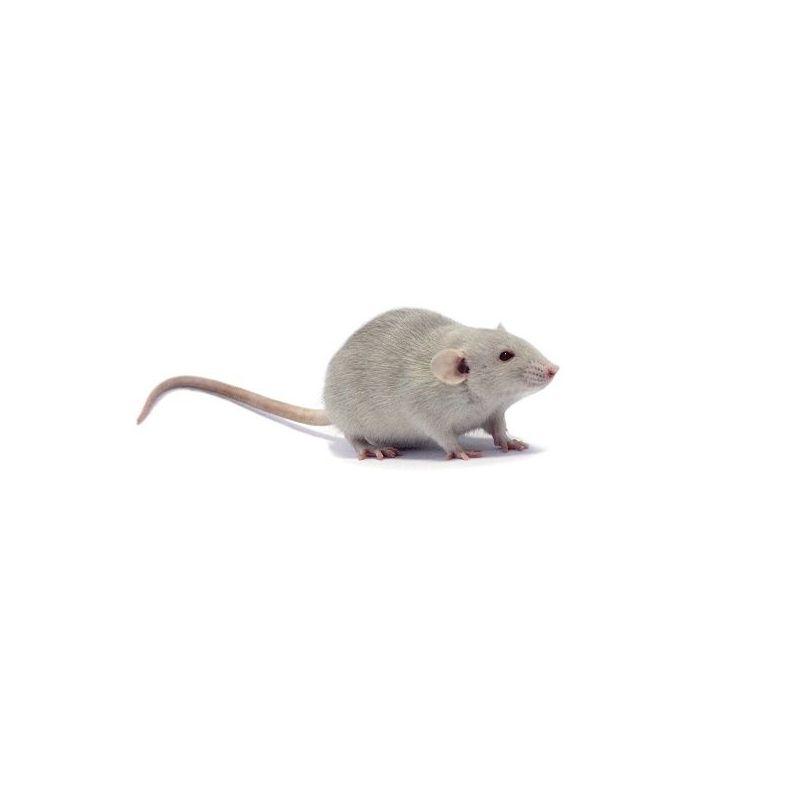 Rat dumbo Mâle