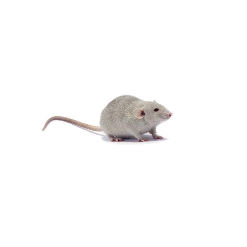 Rat dumbo Femelle à 4,17 € sur Barf-Food-France