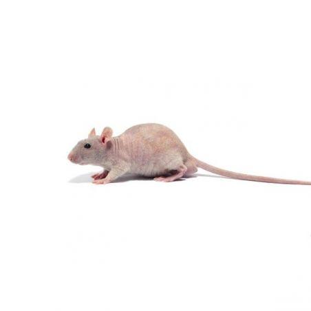 Rat nu Femelle