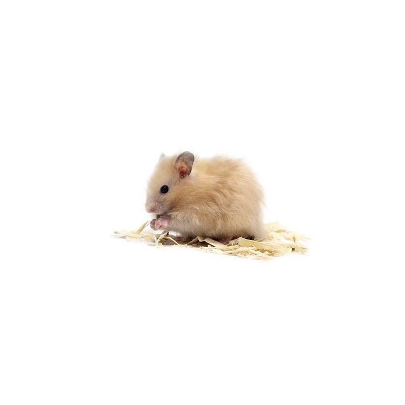 Hamster Doré angora vivant