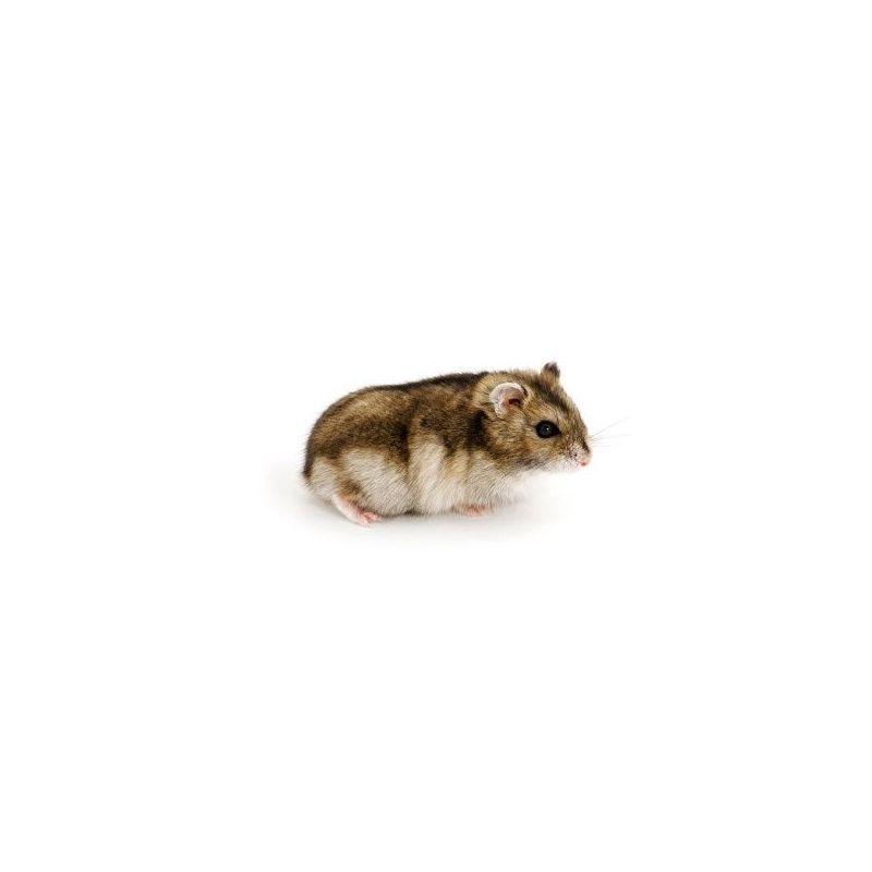 Hamster russe gris vivant