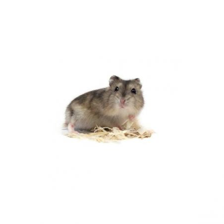 "Hamster russe bleu "" saphir"" vivant"