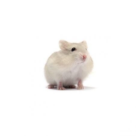 Hamster russe beige vivant