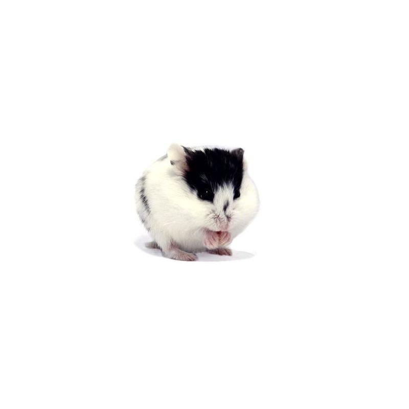 Hamster russe pied vivant