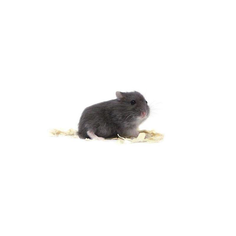 Hamster russe Dark blue vivant