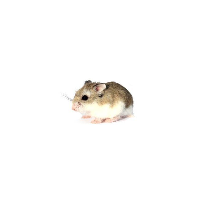 Hamster roborowski vivant