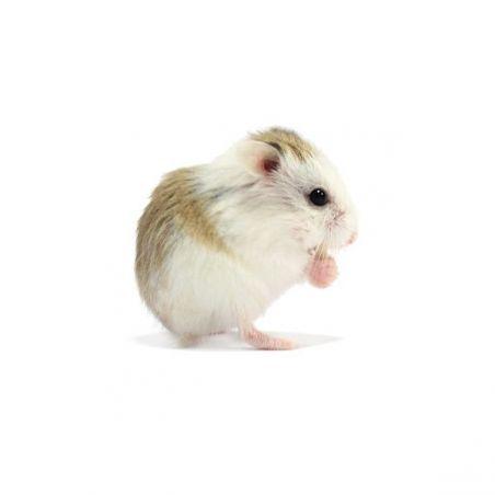 Hamster roborowski pied vivant
