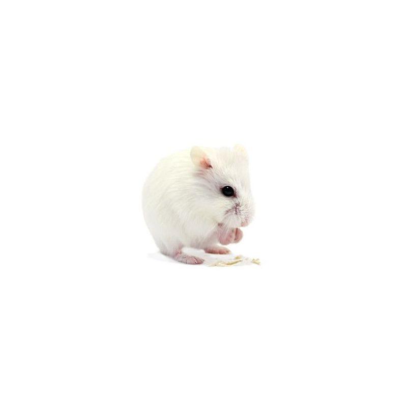 Hamster roborowski blanc vivant