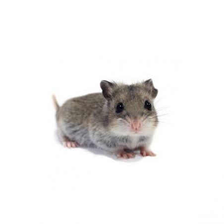 Hamster chinois vivant