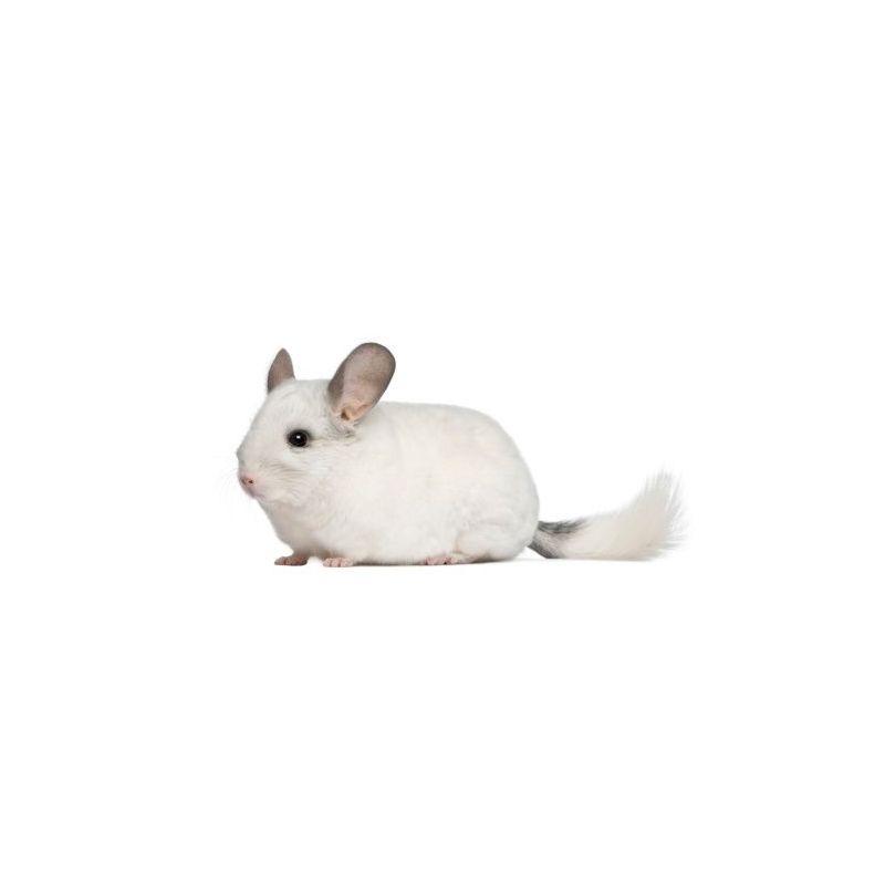 Chinchilla Mâle blanc  vivant