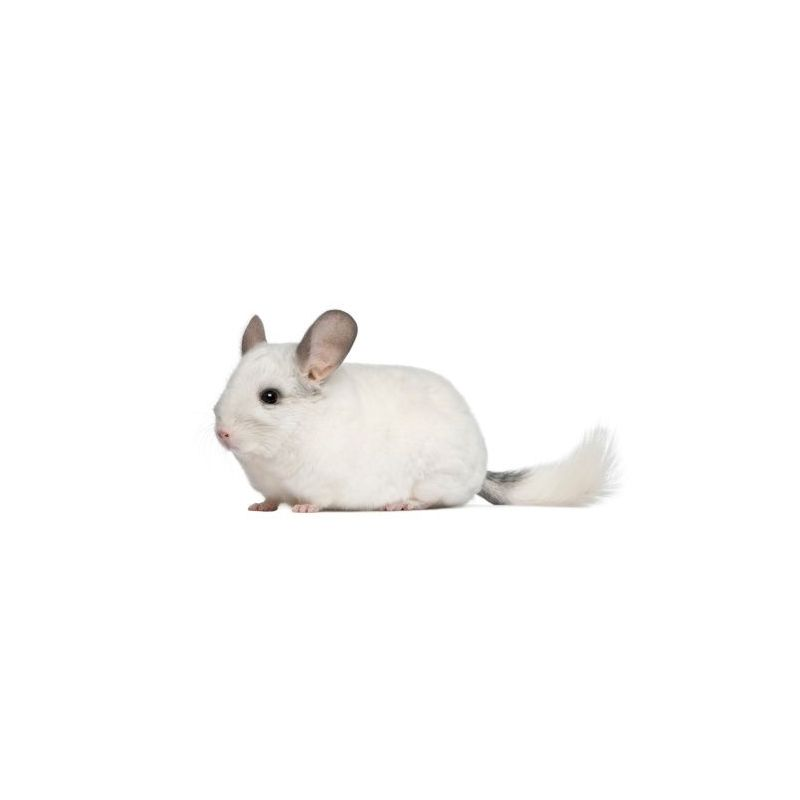 Chinchilla Femelle blanc  vivant