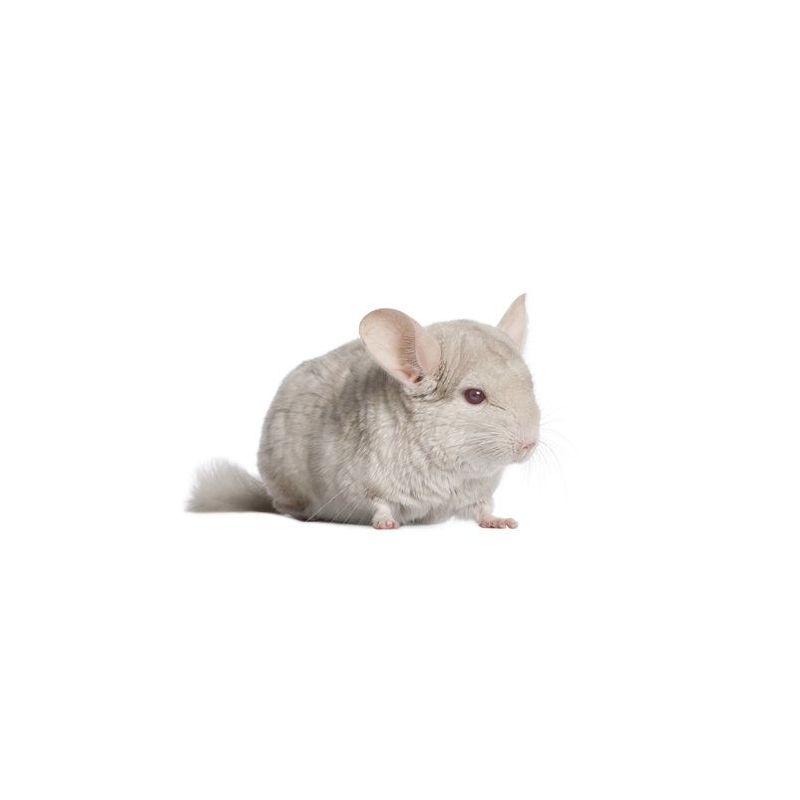 Chinchilla Mâle beige  vivant