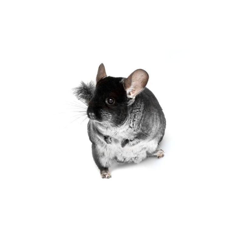 Chinchilla mâle noir  vivant