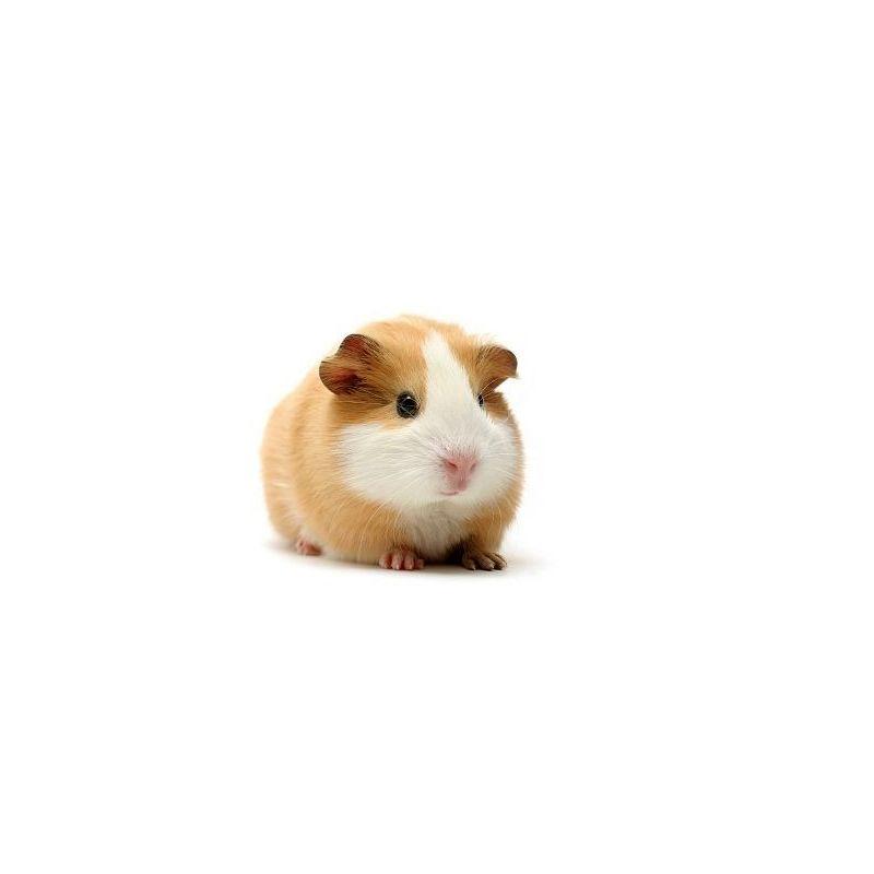 Cochon d'inde femelle  vivant