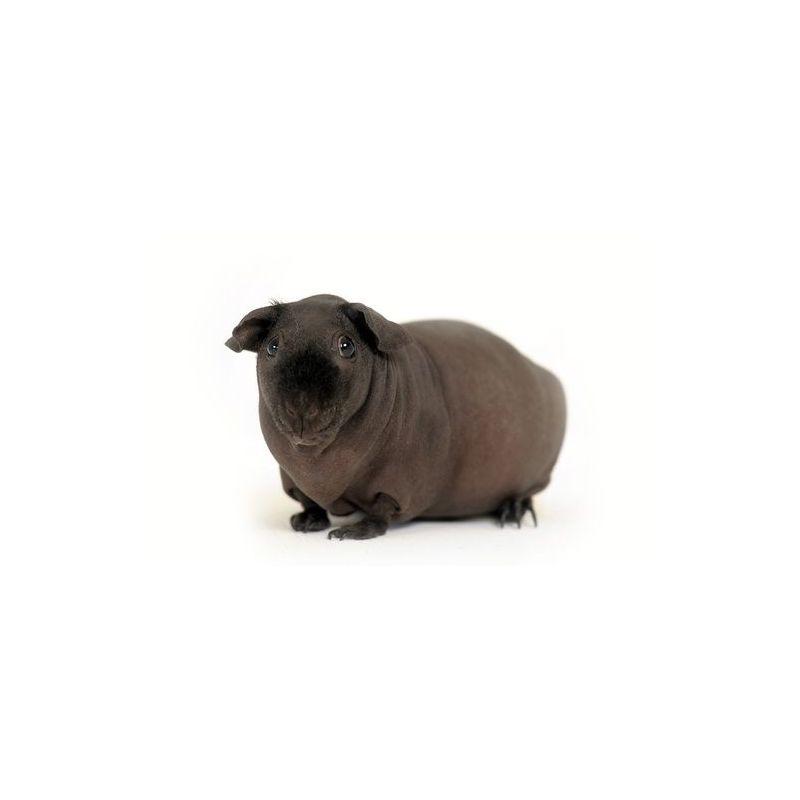 Cochon d'inde femelle nu  vivant
