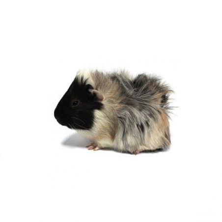 Cochon d'inde femelle Rosette  vivant