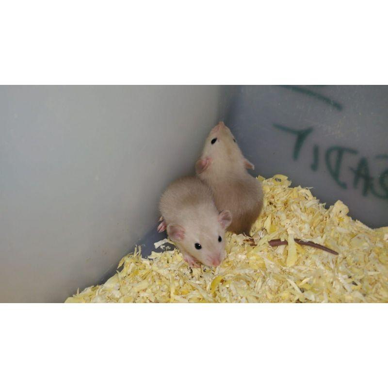 Rat siamois Mâle
