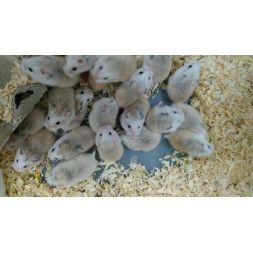 Hamster roborowski vivant white head
