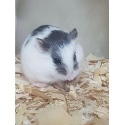 Hamster roborowski vivant black and white