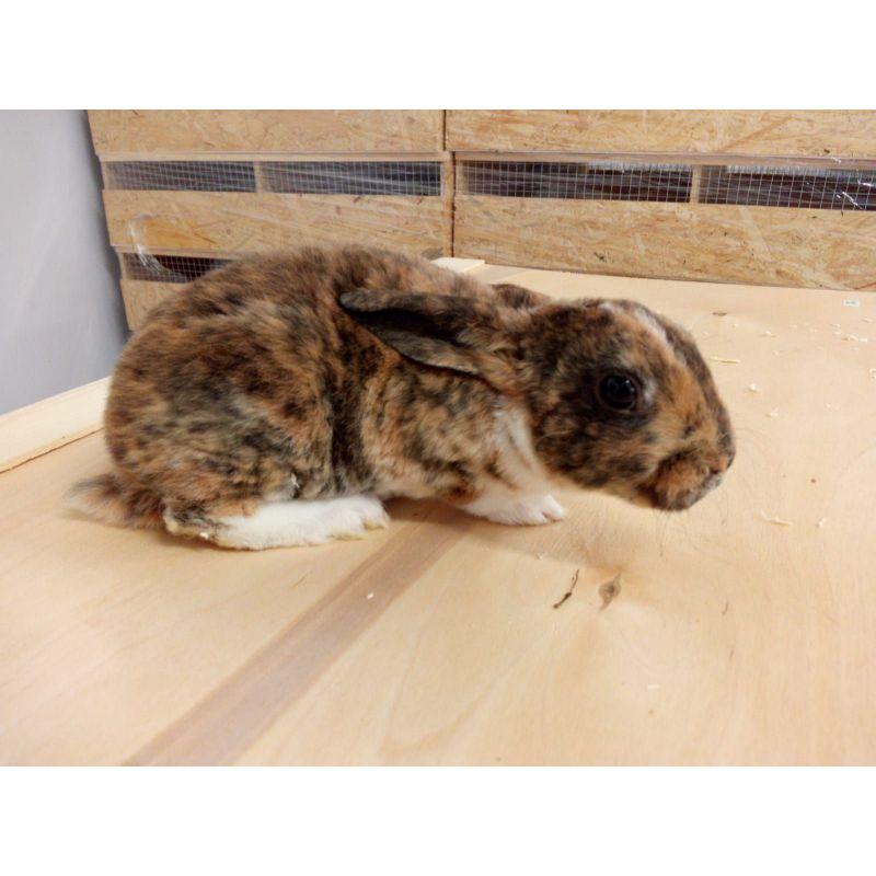 Lapin Rex vivant Femelle à 21,67€ sur Barf-Food-France
