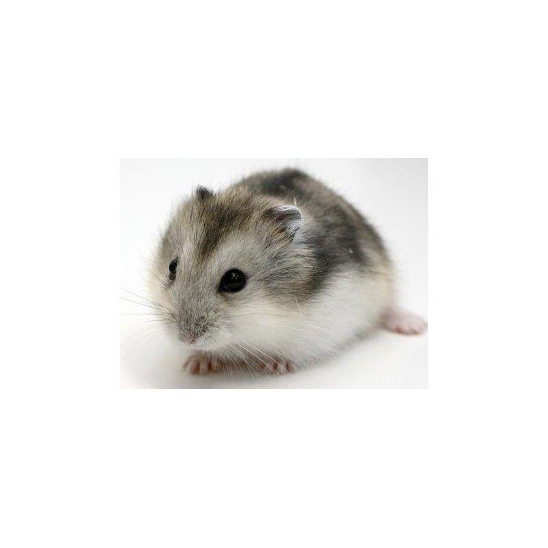 Hamster russe congelé