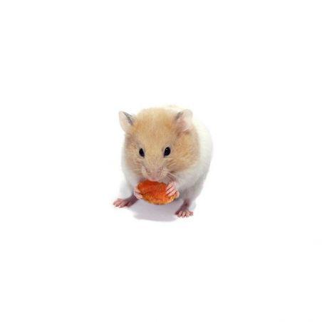 Hamster doré congelé
