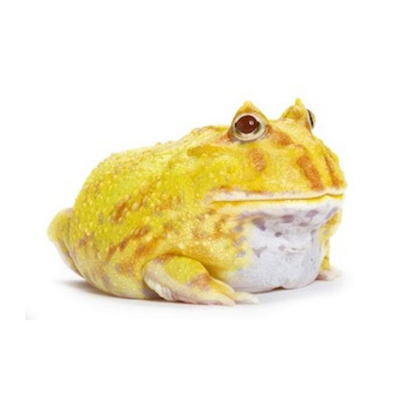 Pacman - Ceratophrys cranwelli Albinos à 34,92 € sur Barf-Food-France