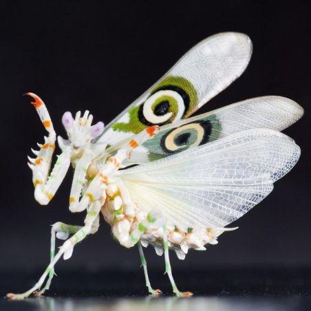 Pseudocreobotra wahlbergii - Mante fleur